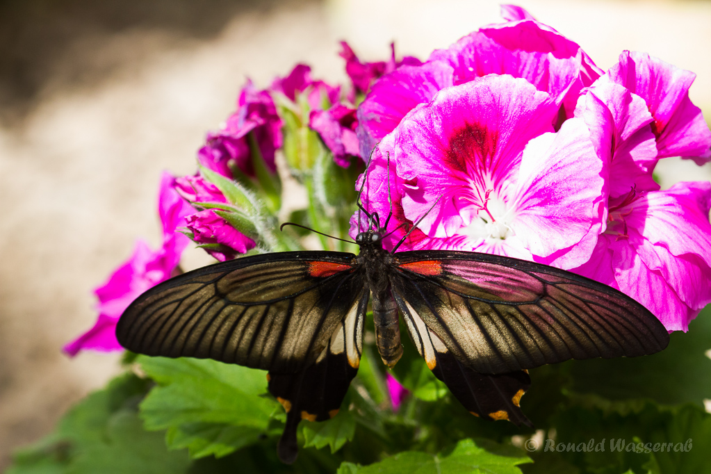 Papilio lowi (Weibchen)
