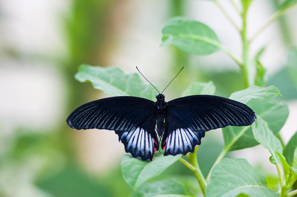 Papilio lowi (Männchen)