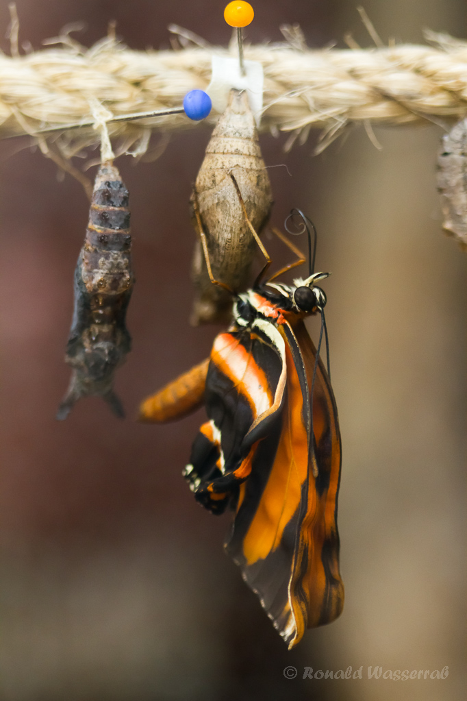 Dryadula phaetusa beim Schlupf