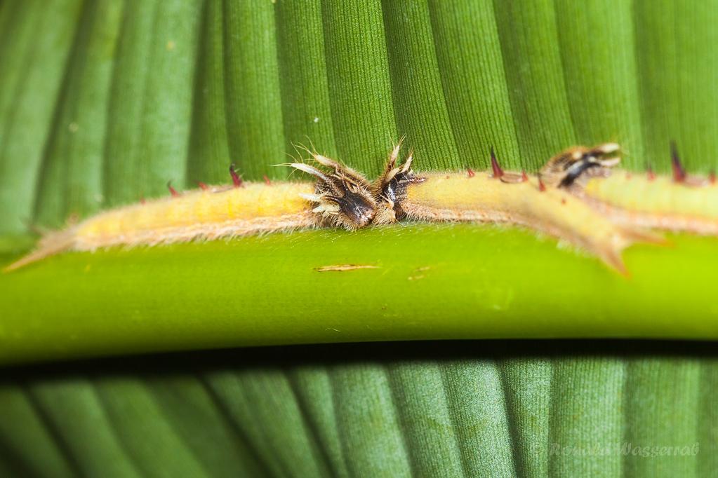 Die Raupe des Bananenfalters