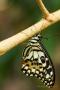Papilio demoleus nach dem Schlupf