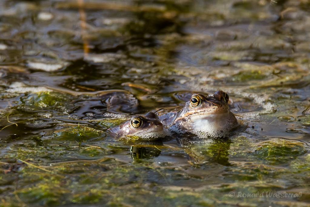 Grüne Augen Froschnatur, von der Liebe keine Spur... - Moorfrösche (Rana arvalis)