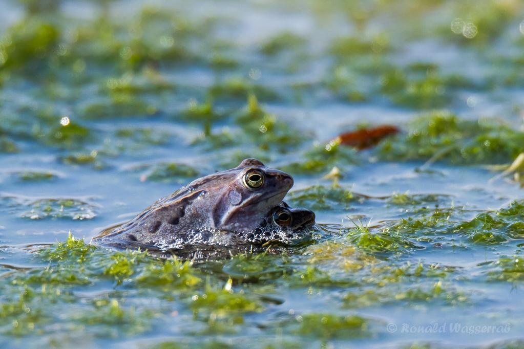 Das frisch gebackene Moorfrosch-Paar (Rana arvalis)