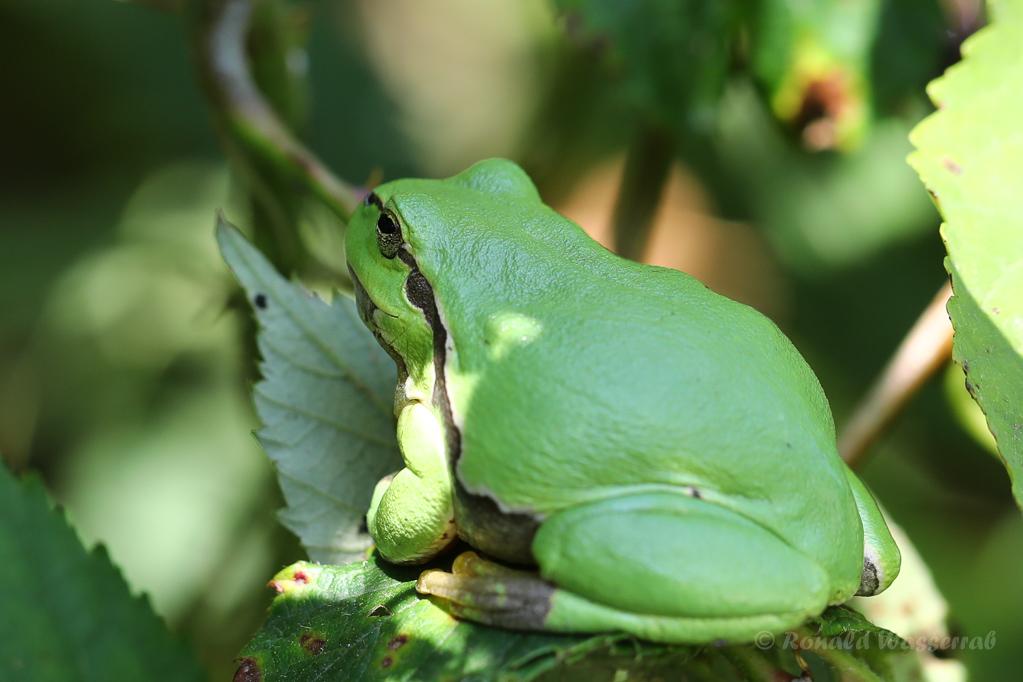 Ein ziemlich fetter Laubfrosch (Hyla arborea)