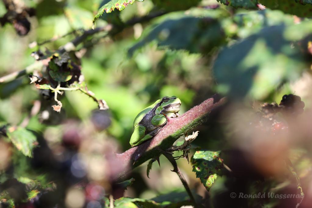 Auch auf den Brombeerästen findet ein Laubfroschn (Hyla arborea) Platz