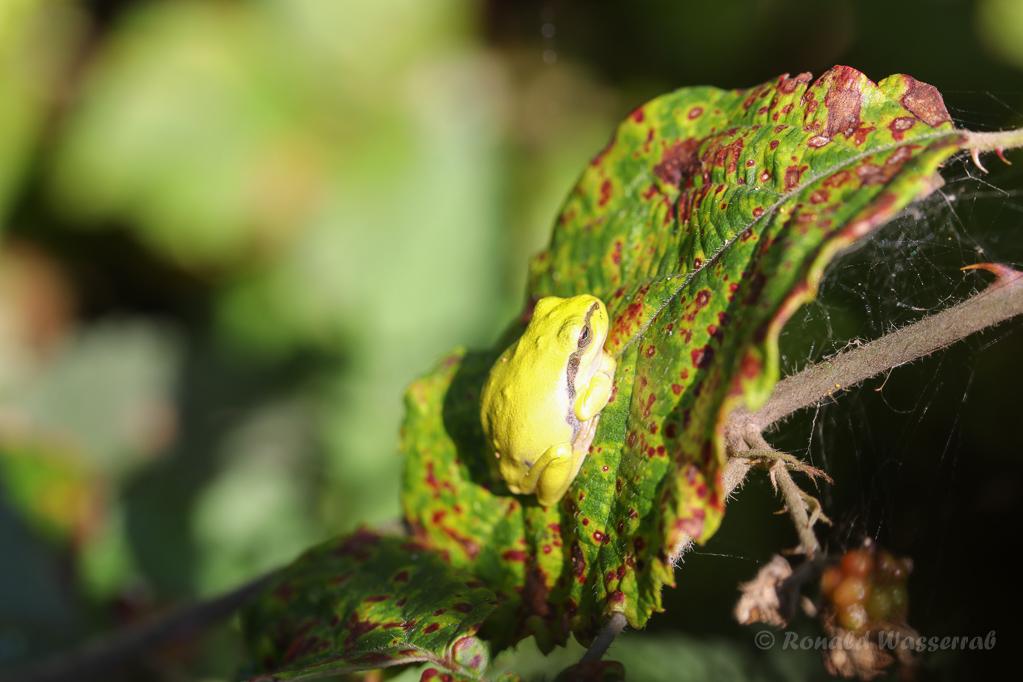 Die Sonne ist für den Laubfrosch (Hyla arborea) gut, für den Fotografen oft nicht