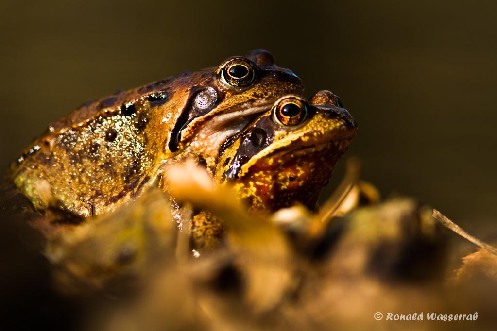 Frosch-Liebe an der Kall 1