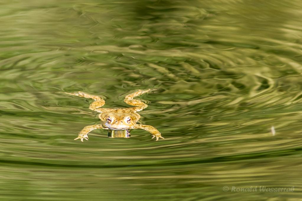 Frosch im Jägersief 1