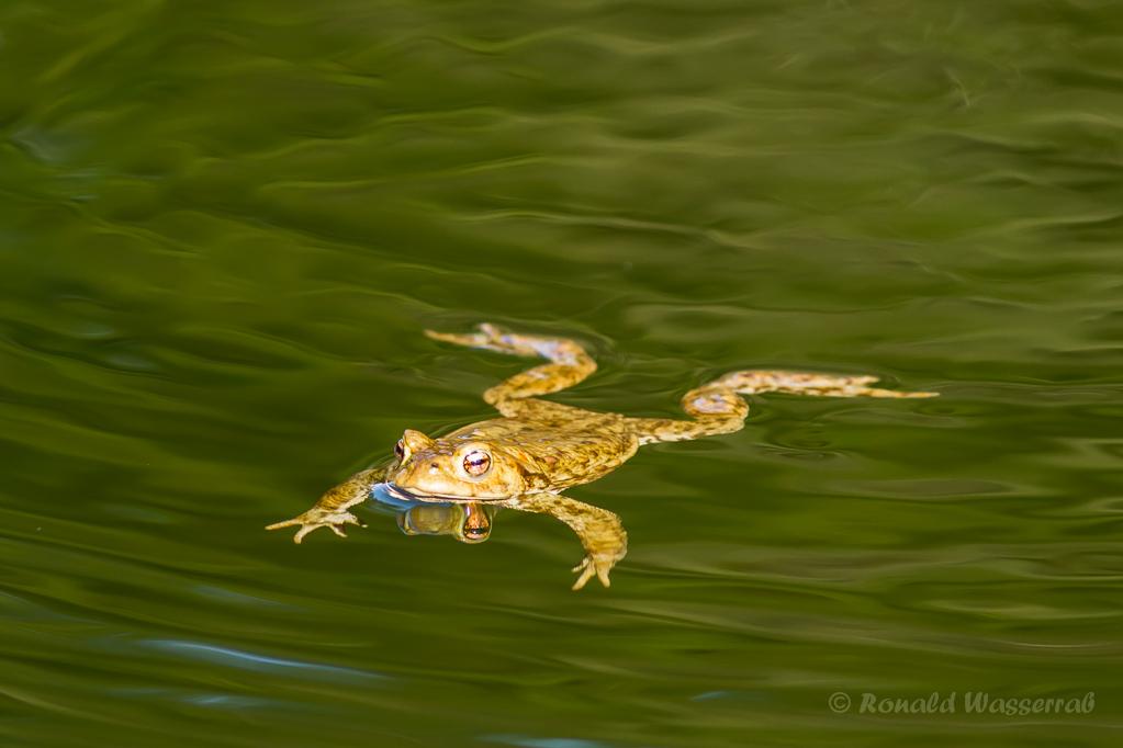 Frosch im Jägersief 2