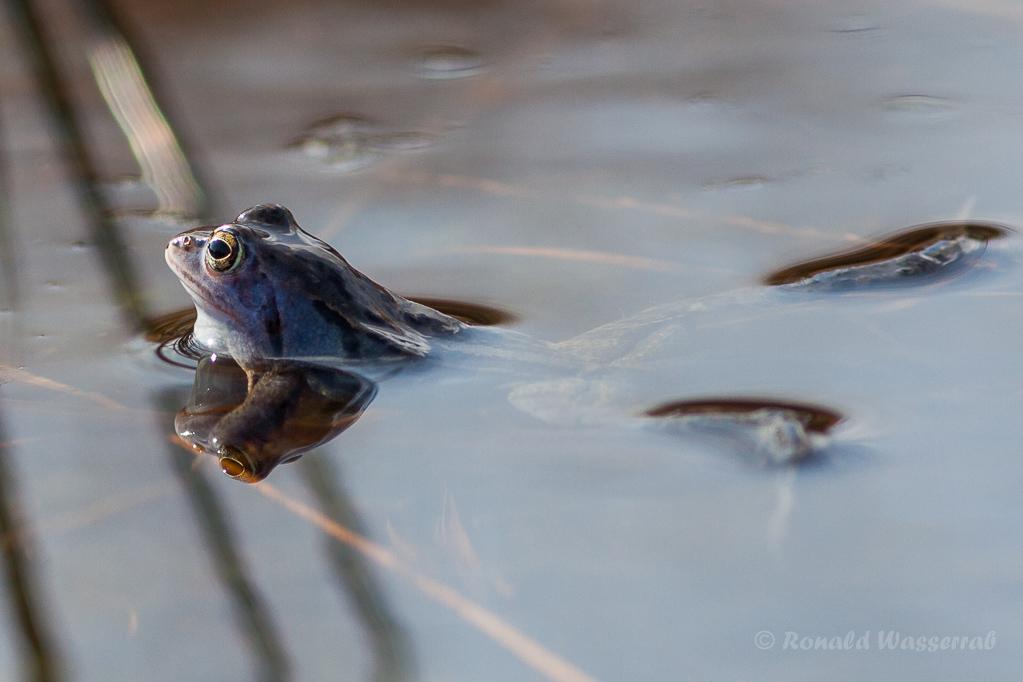 Frosch im Nationalpark De Meinweg