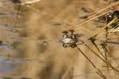 Moorfrosch-Weibchen (Rana arvalis)