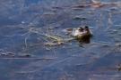 Moorfrosch (Rana arvalis)