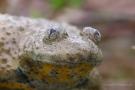 Die Gelbbauchunke (Bombina variegata) hat herzförmige Pupillen
