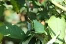 Laubfrosch (Hyla arborea) in den Niederlanden