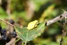 Ein Brombeerblatt bietet den kleinen Laubfröschen (Hyla arborea) reichlich Platz