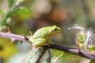 Auch dieser Laubfroschn (Hyla arborea) macht es sich zwischen den Stacheln gemütlich