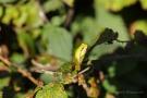 Die Laubfröschen (Hyla arborea) werden auch als Wetterfrösche bezeichnet, weil sie der Sonne entgegenklettern
