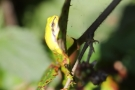 Auch steilste Aufstiege bewältigen die Laubfrösche (Hyla arborea) ohne Mühe