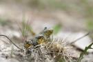 Gelbbauchunke (Bombina variegata)