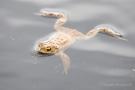 Erdkröte (Bufo bufo-Komplex) im Nationalpark De Meinweg