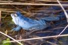 Moorfrosch (Rana arvalis) im Nationalpark De Meinweg