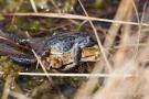 Moorfrosch (Rana arvalis) auf Erdkröte (Bufo bufo-Komplex) im Nationalpark De Meinweg