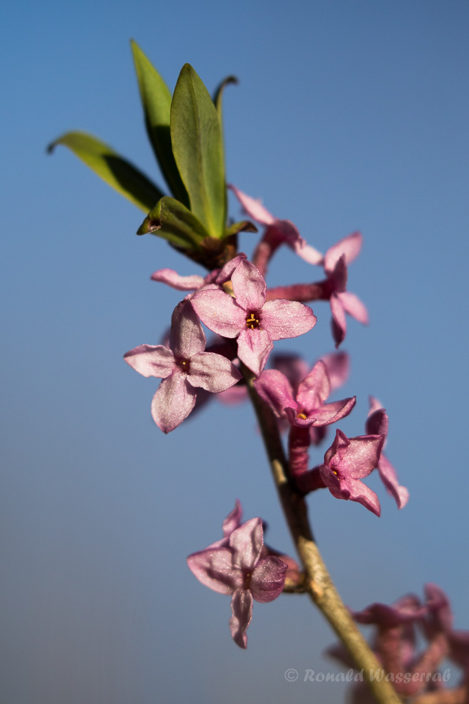 Seidelbast (Daphne)