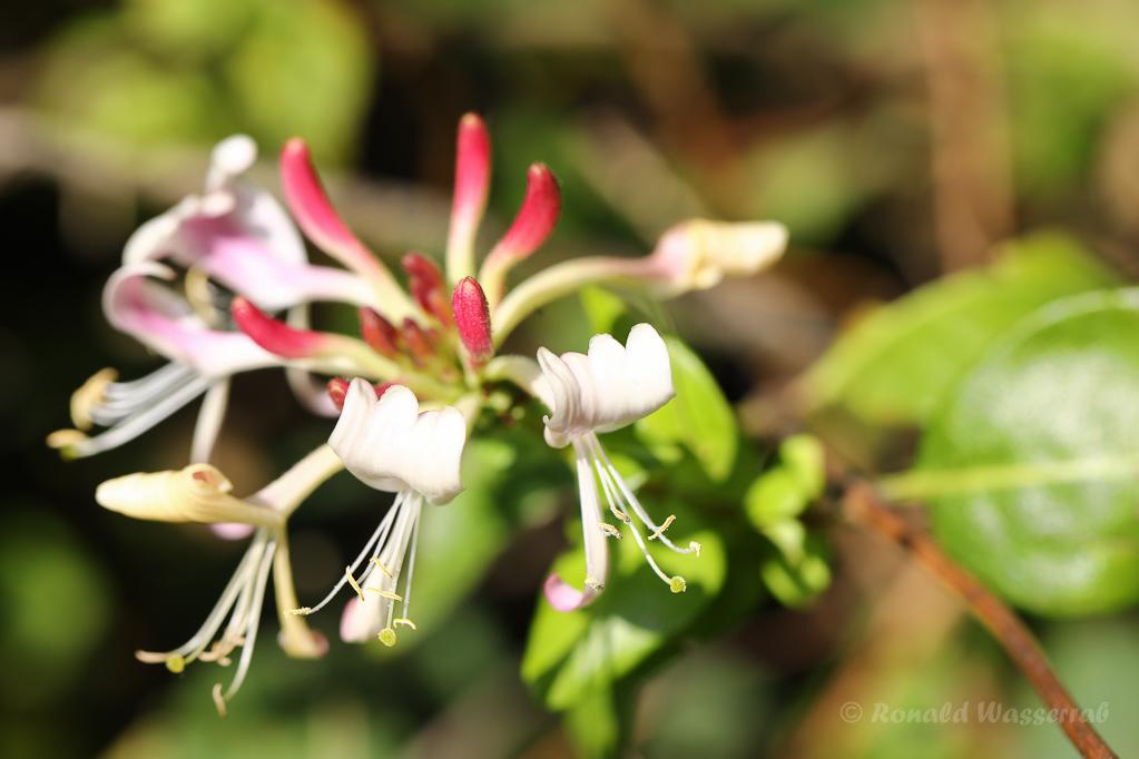 Waldgeißblatt (Lonicera periclymenum)