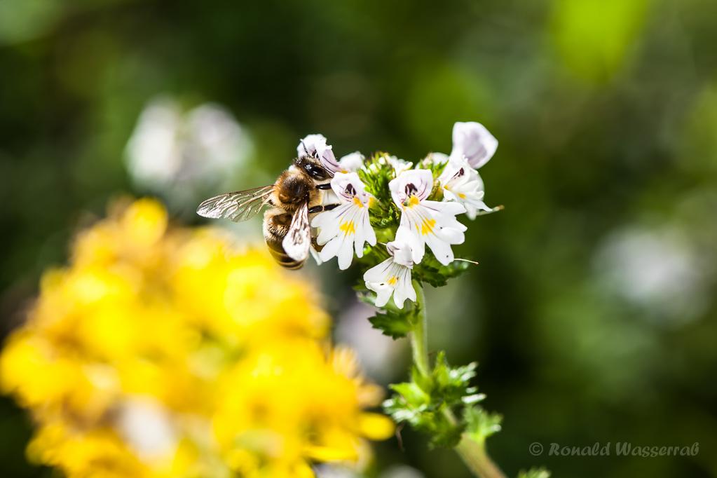 Augentrost (Euphrasia officinalis) mit Biene