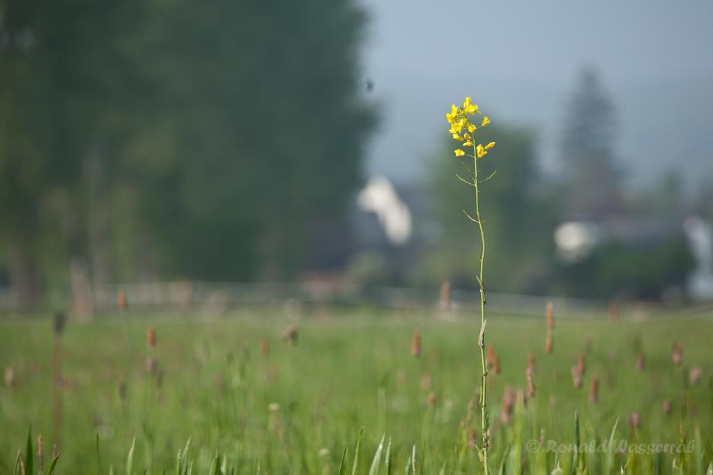 Einzelne Rapspflanze bei Gey