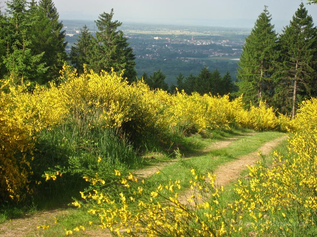 Ginsterblüte (Genista) im Hürtgenwald