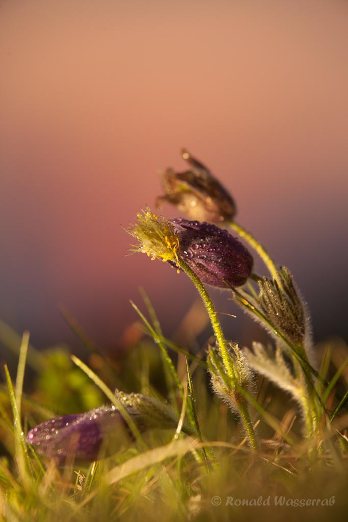 Kuhschellen (Pulsatilla vulgaris) im Abendlicht
