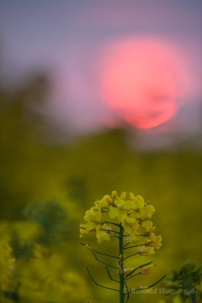 Rapsfeld im Sonnenuntergang