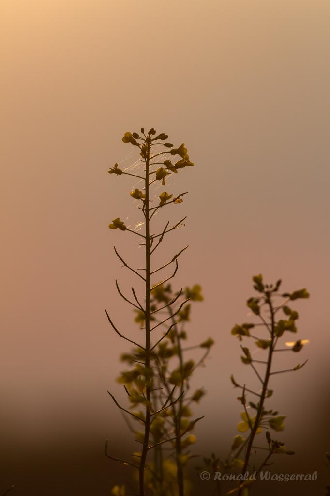 Rapsfeld im Sonnenaufgang