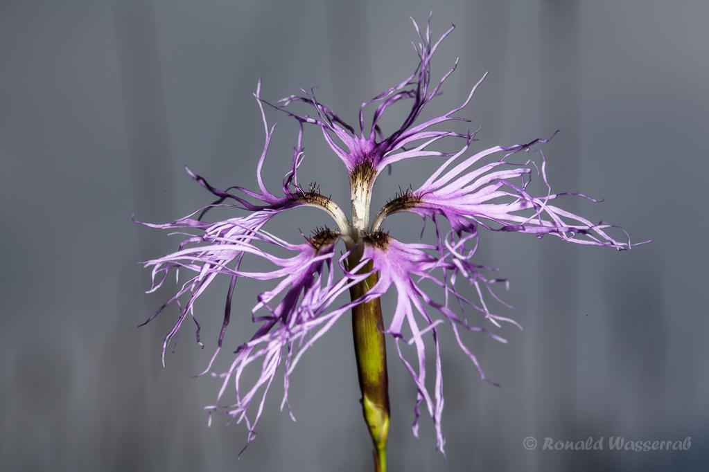 Prachtnelke (Dianthus superbus)