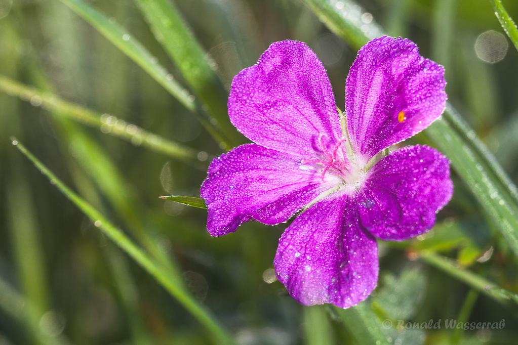 Storchenschnabel (Geranium) mit Tau