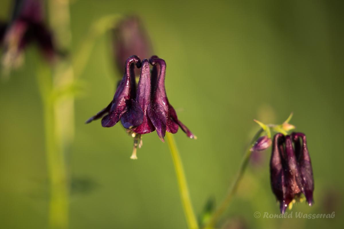 Schwarzviolettes Akelei (Aquilegia atrata)