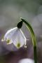 Der Märzenbecher (Leucojum vernum) hat viele Namen: Frühlingsknotenblume, Märzbecher, Märzglöckchen, Großes Schneeglöckchen