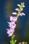 Blühendes Heidekraut (Erica)
