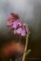 Glockenheide (Erica tetralix)
