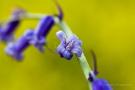 Hasenglöckchen (Hyacinthoides, Hyacinthoides non-scripta)