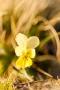 Gelbes Galmei-Veilchen (Viola calaminaria)