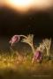 Kuhschellen (Pulsatilla vulgaris) mit Regentropfen