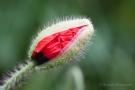 Klatschmohn-Knospe (Papaver rhoeas)