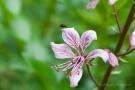 Fliege auf Diptam (Dictamnus albus)