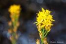 Moorlilie (Narthecium ossifragum)