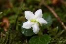 Moosauge (Moneses uniflora)