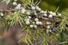 Wachholder (Juniperus)