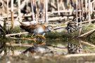 Kleines Sumpfhuhn (Porzana parva) im Bodensee am rechten Rheindamm