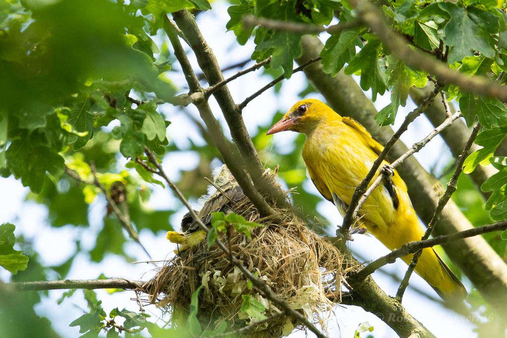 Pirol-Weibchen füttert